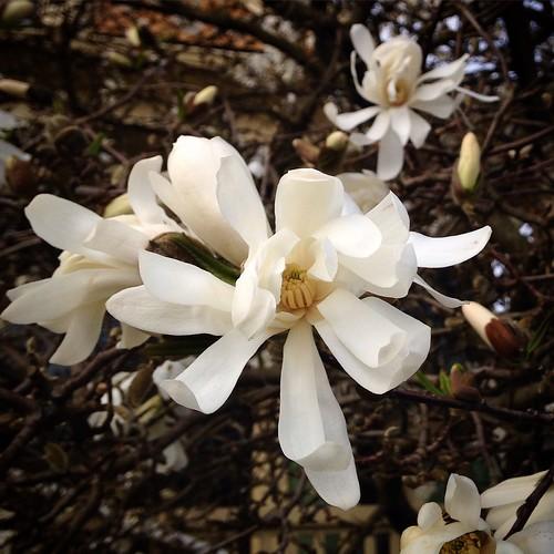 Delicate white magnolias