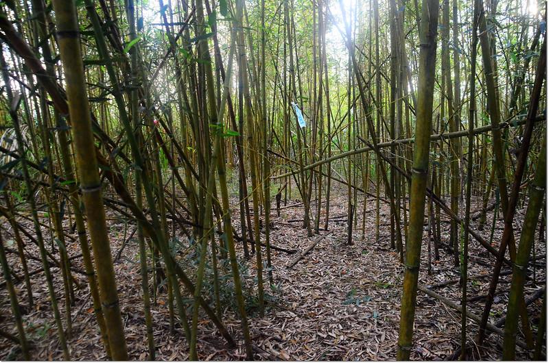 泥水溪山山頂竹林