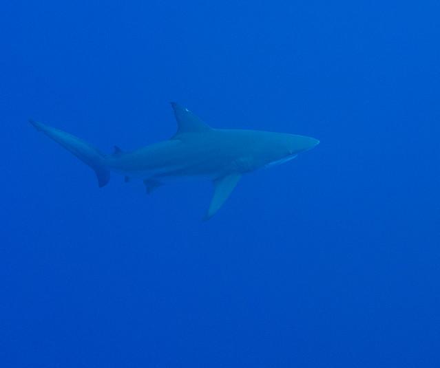 Requin soyeux (Carcharhinus falciformis)