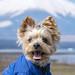 "Pet dog yorkie ""santa"" by shinichiro*"