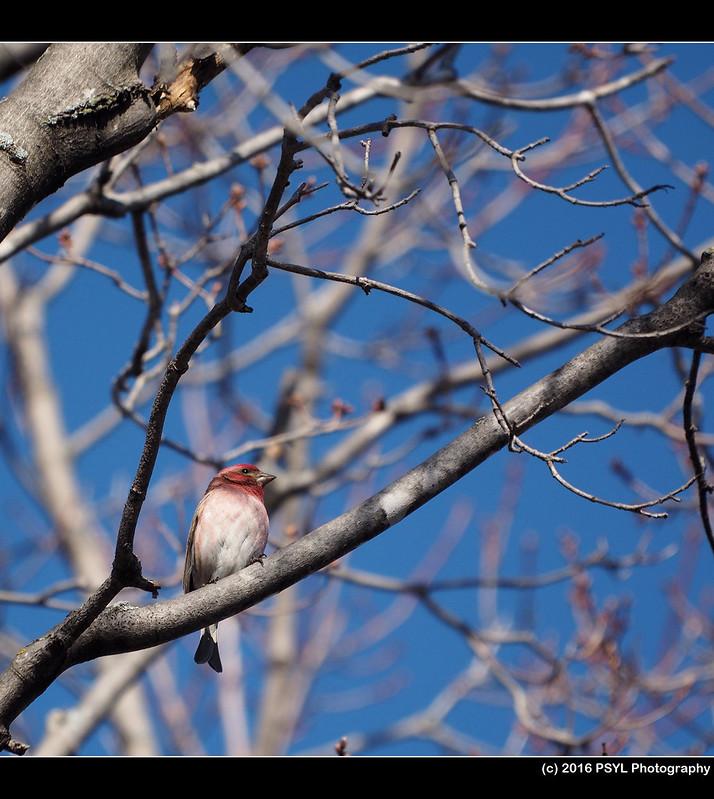 Purple Finch (Haemorhous purpureus)