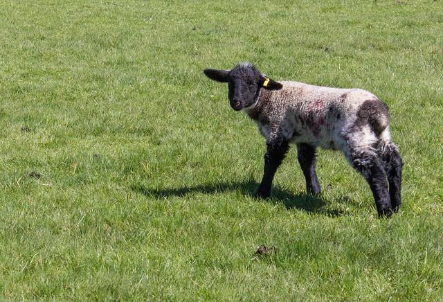 Boscobel House lambs