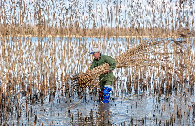 Reeds cutter with a bundle of freshly cut reeds