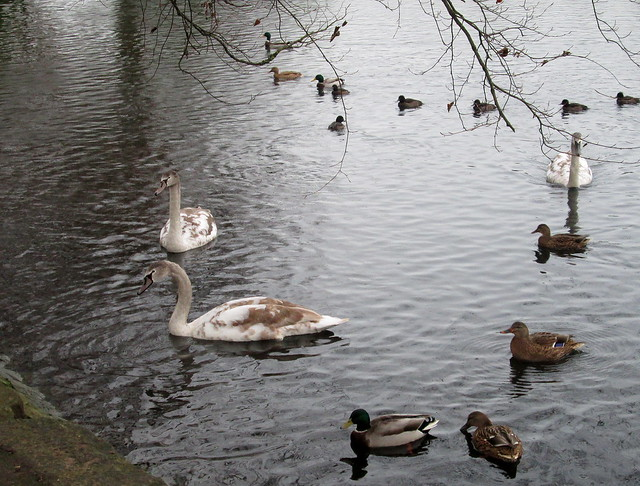 Cygnets, Beveridge Park, Kirkcaldy, Nov 2015 1