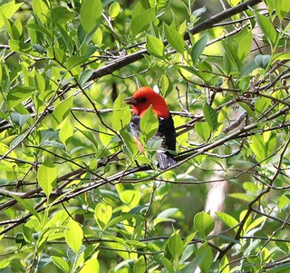 Male Scarlet Tanager_N0124