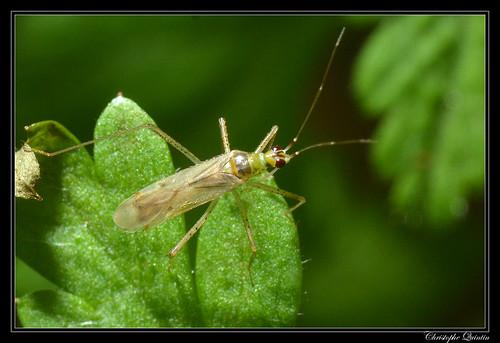 Dicyphus groupe pallidus