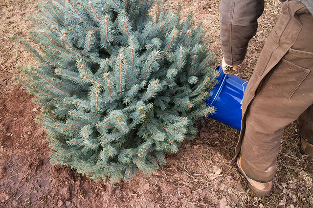 Planting Our Christmas Tree_16