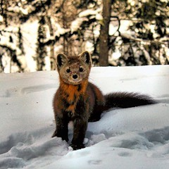 Not your neighborhood kitty. In the winter you should easily spot Pine Martens at Bearskin, especially near Cabin 5 and Cabin 7.  Or when driving by the dumpster. They like to line up a nice array of miscellaneous garbage on top of the dumpster.  #bearski