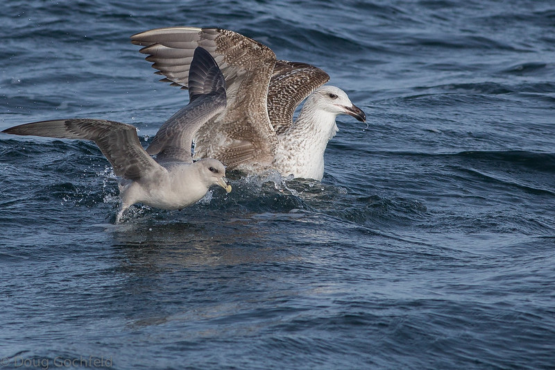 Death Defying Fulmar