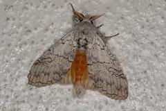 Calliteara farenoides