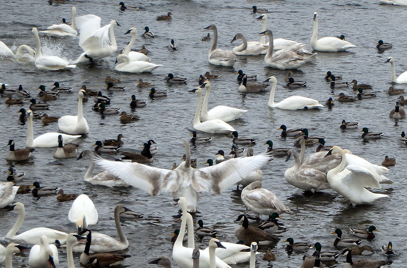31 swans, three of them flapping their wings, plus geese and mallards