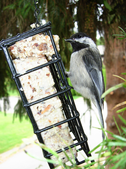 Black-capped Chickadee on suet feeder