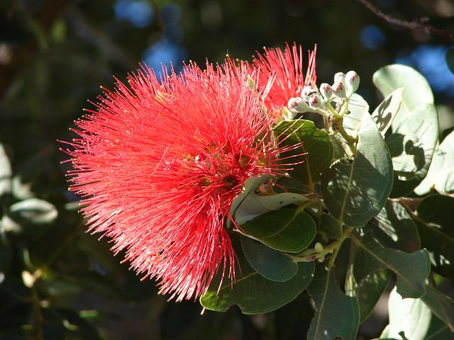 starr-061204-1825-Metrosideros_polymorpha-flowers-Kulamanu_Kula-Maui