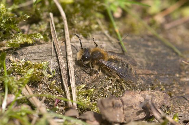 Andrena clarkella (m)