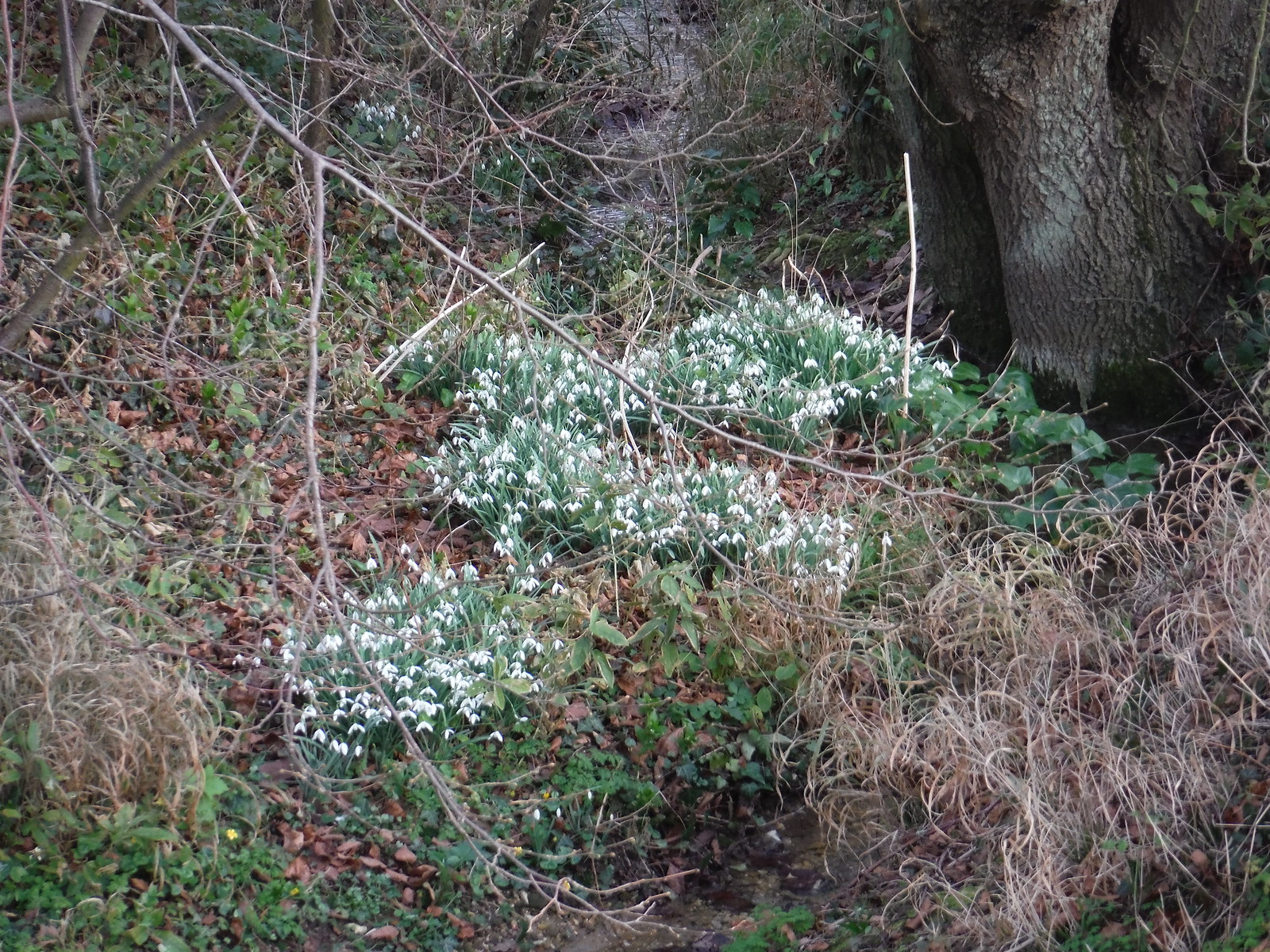 Snowdrops SWC Walk 116 Wendens Ambo [Audley End station] Circular