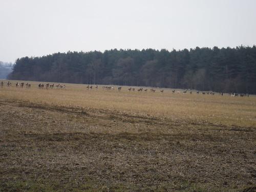 More deer in front of High Wood