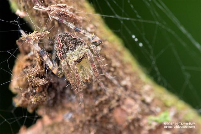 Orb weaver spider (Araneidae) - DSC_7316