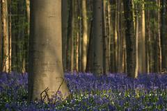 Bluebells around the tree