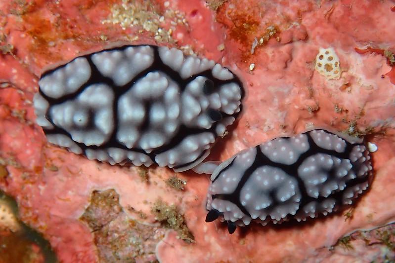フィリディエラ・アンヌラータ Phyllidiella annulata (Gray, 1853)