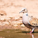 Rola Brava   European Turtle Dove  