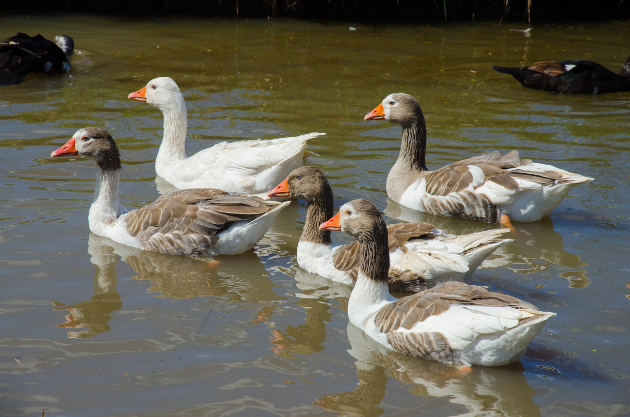 Gansos domésticos son vistos en una laguna cercana a la Estancia Ña Blanca, que es el punto de referencia sobre la ruta que une Colonia San Alfredo y Puerto Vallemí para ingresar al arroyo Tagatiya. (Elton Núñez)