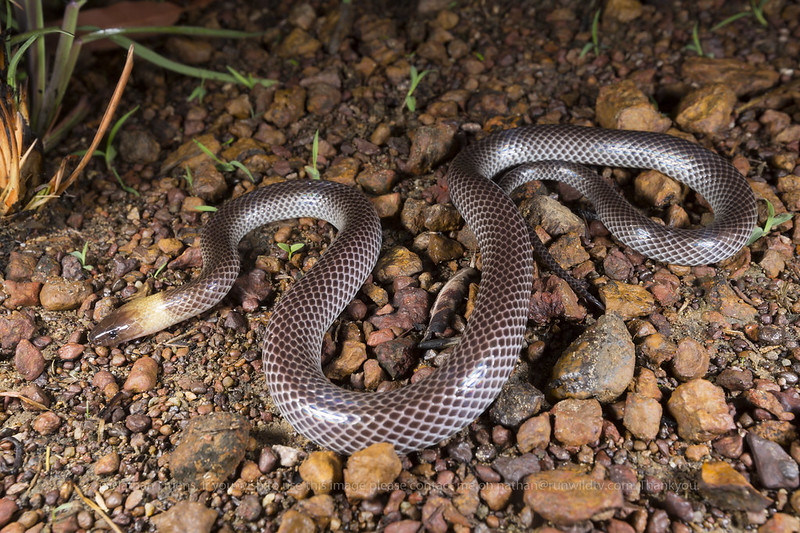 Brown Headed Snake (Furina tristis)