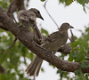 Great (Northern) Bowerbirds (Ptilinorhynchus nuchalis)(34 – 38 cm)