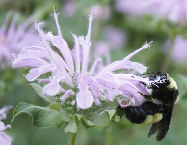big bumblebee with a yellow abdominal band on the right side of a bee balm blossom