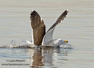 Black-backed Gull Landing
