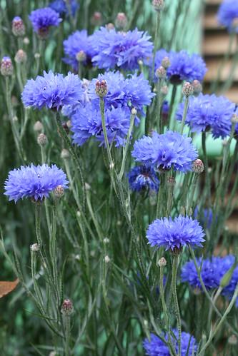 Centaurea blue diadem