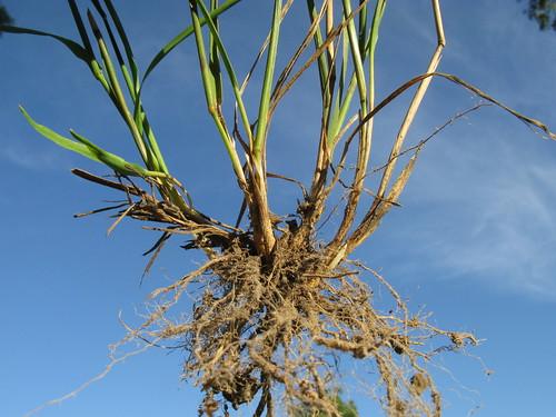 Echinopogon caespitosus roots1 NC
