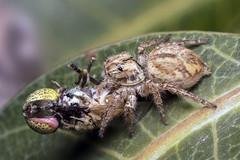 Jumping spider kills Hoverfly