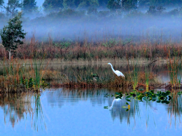 Great Egret in morning mist HDR 20160314