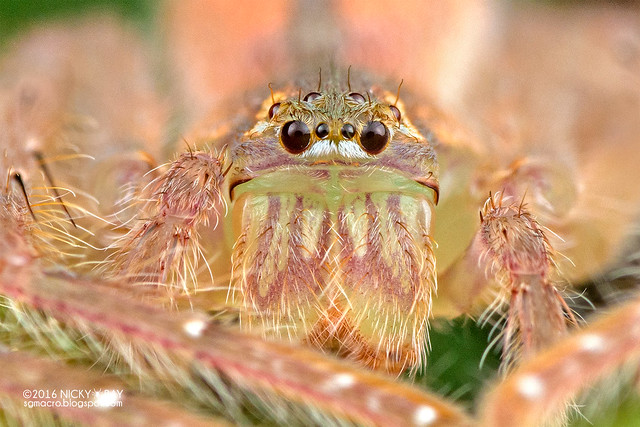 Huntsman spider (Gnathopalystes sp.) - DSC_7561b