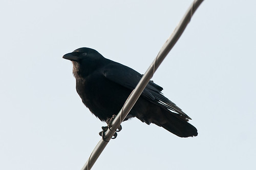 Are You An American Crow?