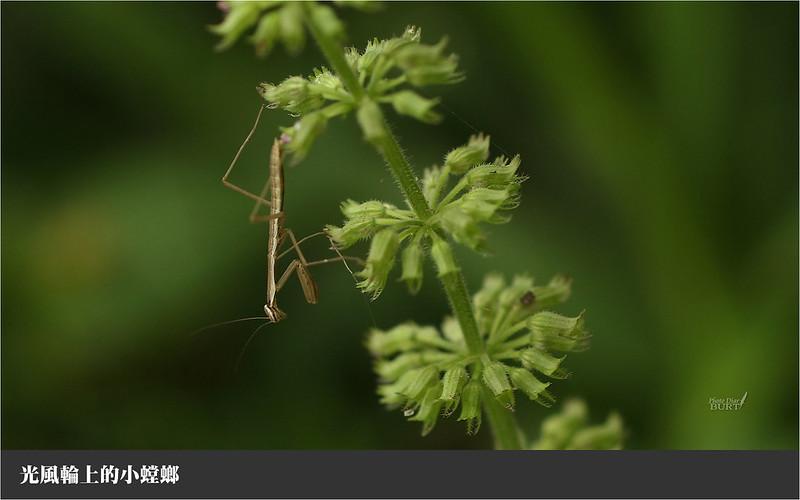 001光風輪上的小螳螂