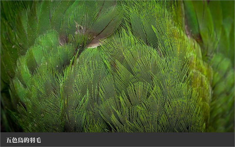 002五色鳥的羽毛細部