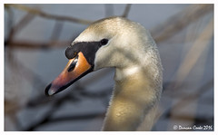 HolderDS0D4087-Female-Mute-Swan