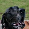 Brumbie, Black Great Dane
