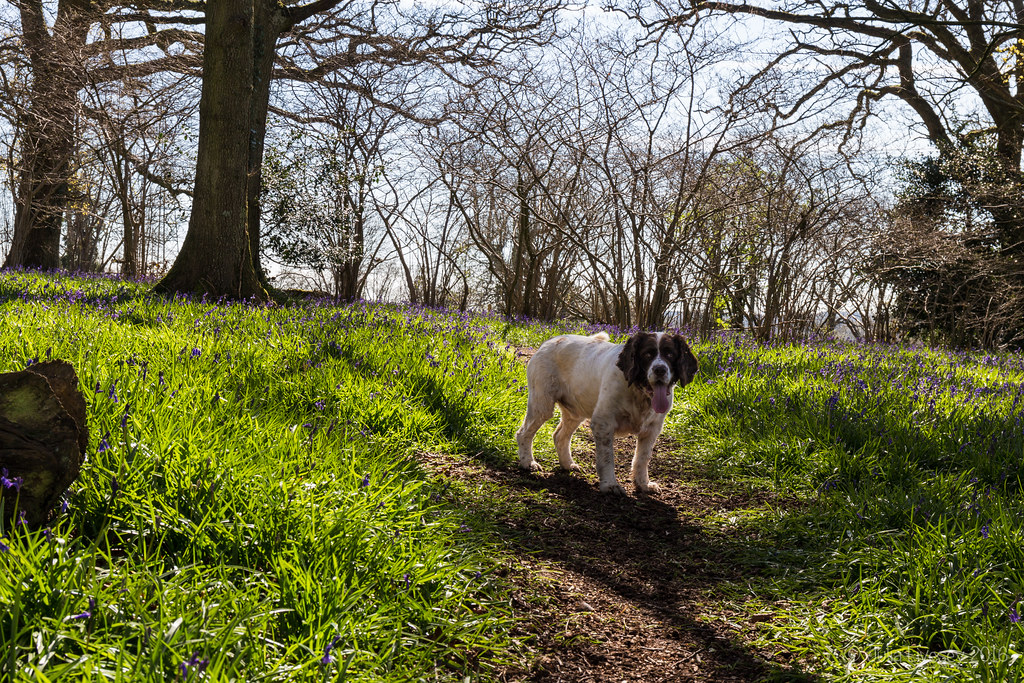 Max in the bluebell woods