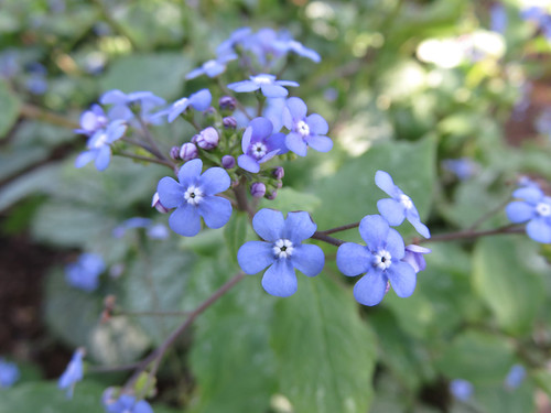 These Forget-Me-Nots were part of early April's 'Cool Colour' border at the Washington State University 'Discovery Garden'