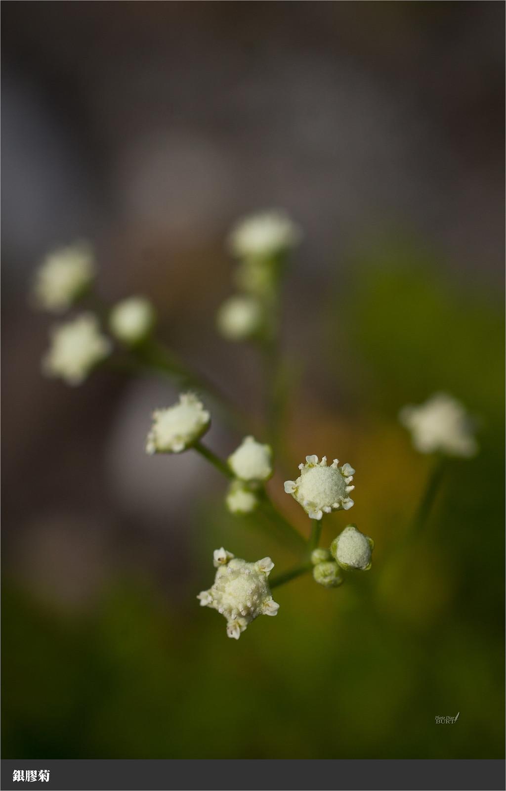 003銀膠菊