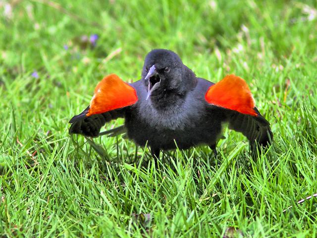 Red-winged Blackbird singing HDR 2-20160420