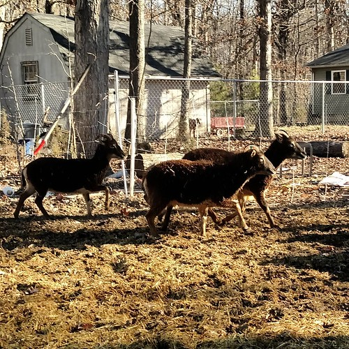 Three Soay ewes rush past side on to the camera. They are varying shades of auburn brown, made darker by the angle of the light. Their bellies and insides of their legs are creamy pale, and there are markings around their eyes in the same color.