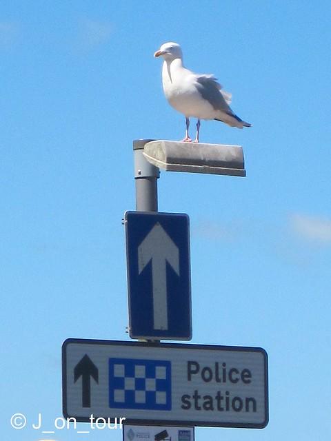 Seagull Policeman  GJC_IMG_6347