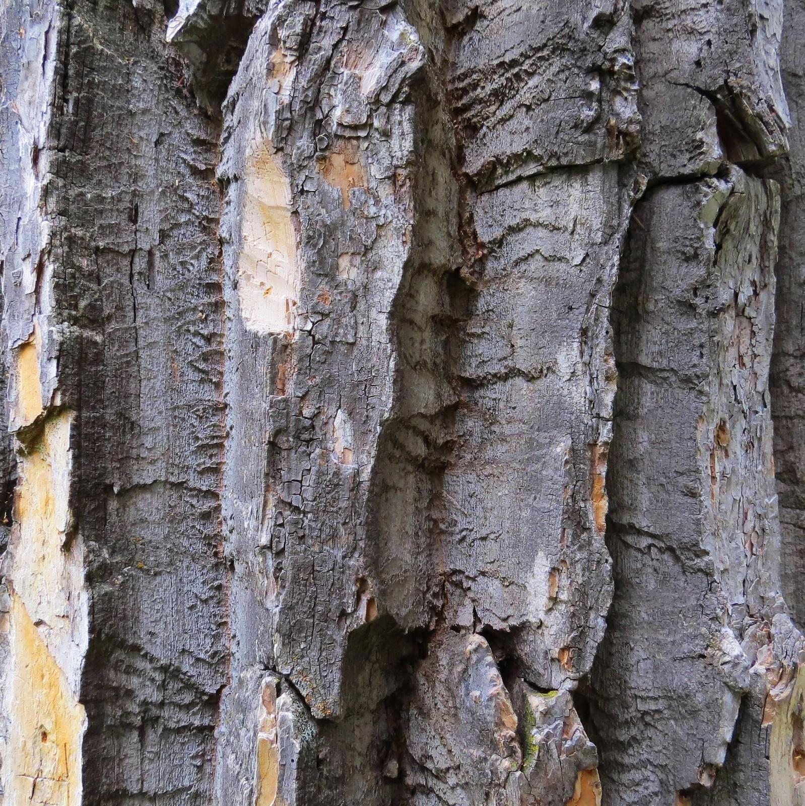 Asiitsiksimm, Black Cottonwood, Blackfeet Glacier, Montana