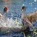 Bird Brawl by Nikographer [Jon]