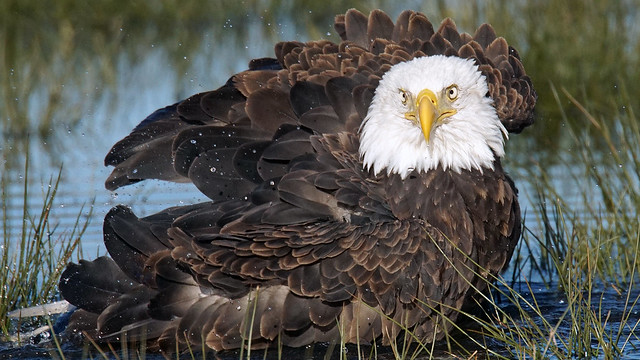Bald Eagle ..., Sony ILCA-77M2, Sony 500mm F4 G SSM (SAL500F40G)