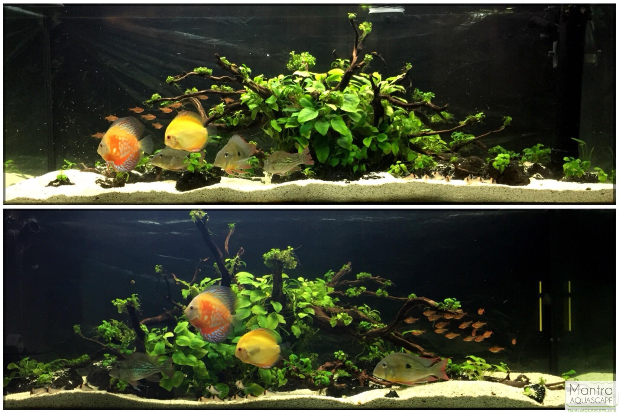 Cichlid forum geophagus winemilleri discus planted tank for Plante aquarium