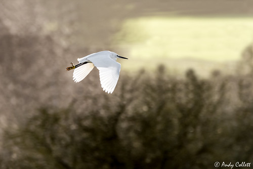 Little Egret in Flight_2